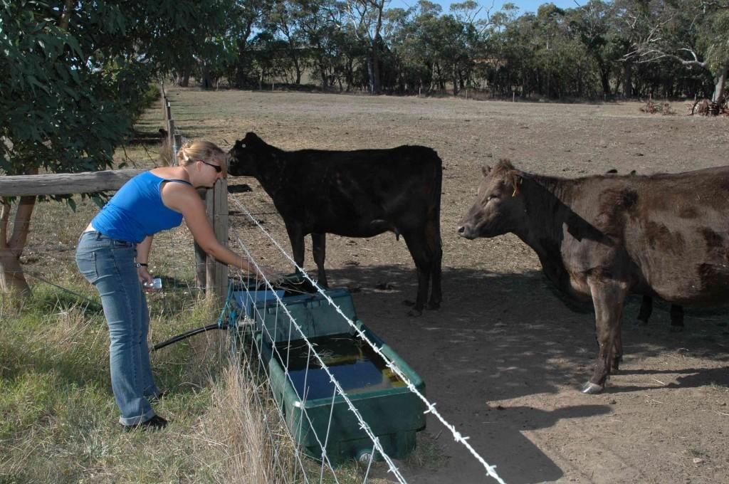 2008 April Inas (German) feeding the cows