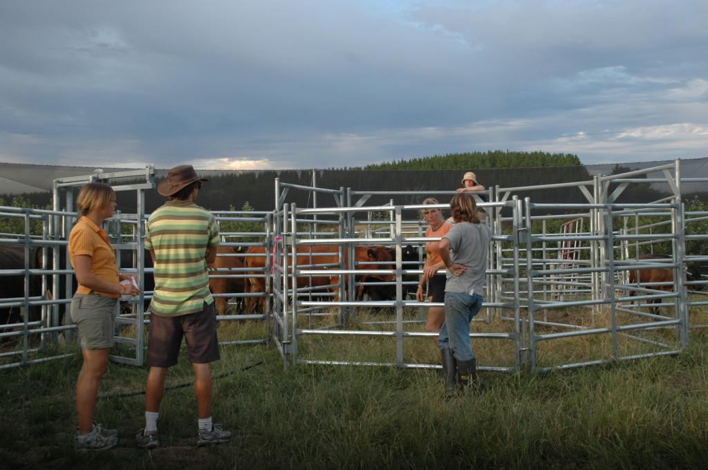 2009 December Anne (Ger), Simon (Ger), Steve, Ruth, Els (Bel) sorting cattle