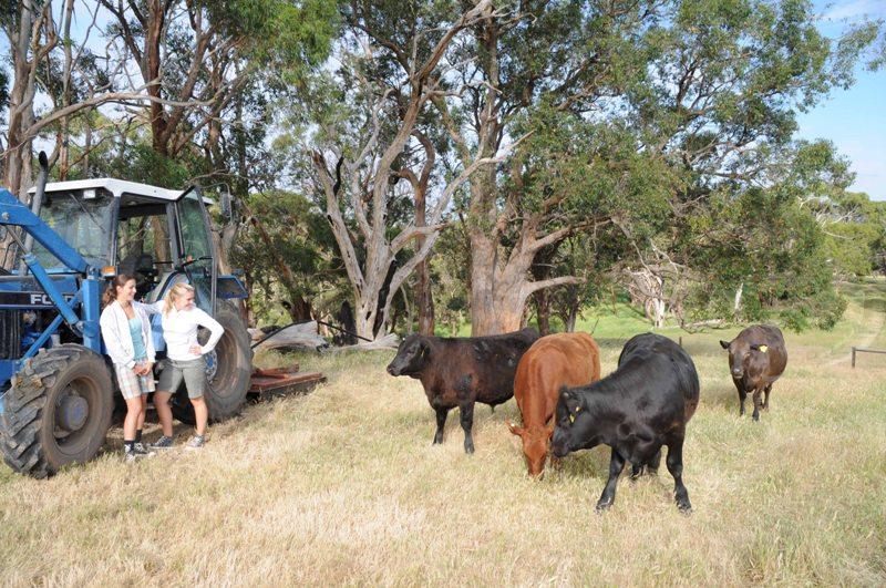 2009 November Sanne (Holl), Cecile (Holl) with calves