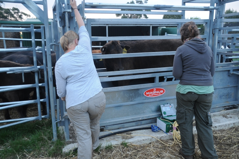 2011 March Annette (Ger), Laurie (Fra) sorting cattle