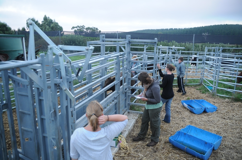 2011 March Yael (Swiss), Katherin (Ger), Mylin (Fra), Laurie (Fra) and Ruth sorting cattle