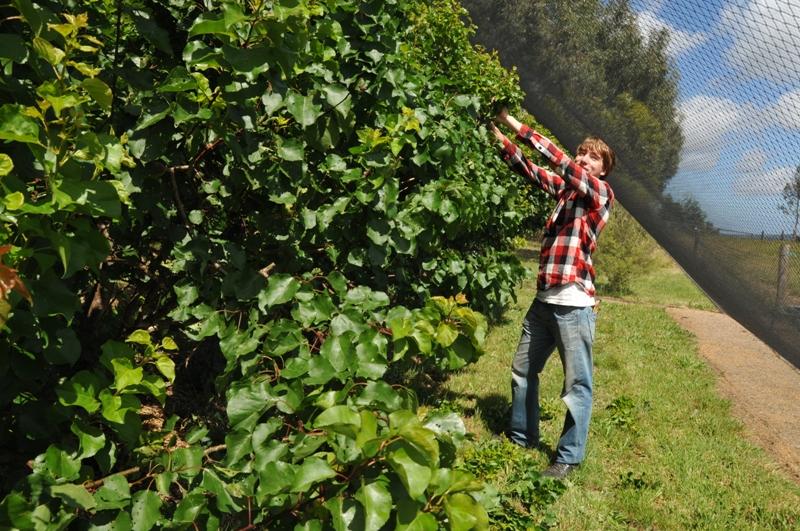 2011 November Michael (Ger) pruning the fruit trees