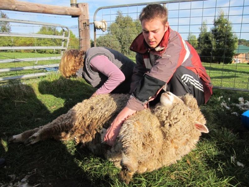 2011 July Ruth and Andrew (UK) crutching sheep