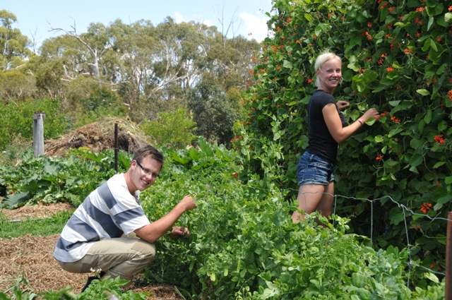 2012 January Chris (Swe) and Sandra (Swe) picking beans in the veggie patch