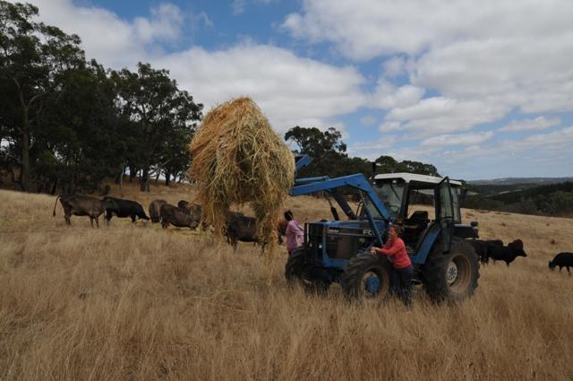 2013 February Gabby cow feeding