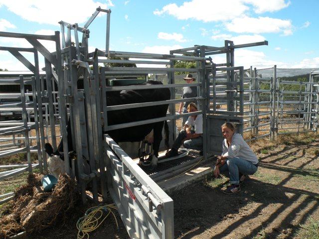 2013 February Jorieke(Neth) morning milking for daily milk