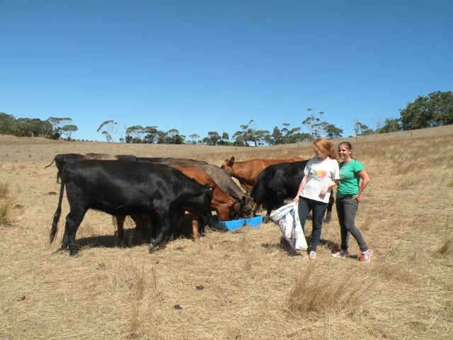 2013 February Monie(Ger) and Angelika(Ger) feeding the cows